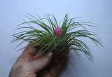 . Tillandsia stricta